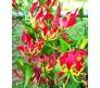 Gloriosa Rothschildiana 1 Bulb