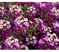 Alyssum seeds packet 0,4 gr.