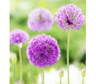Allium Gladiator 1 Bulb