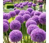 Allium Globemaster 1 Bulb