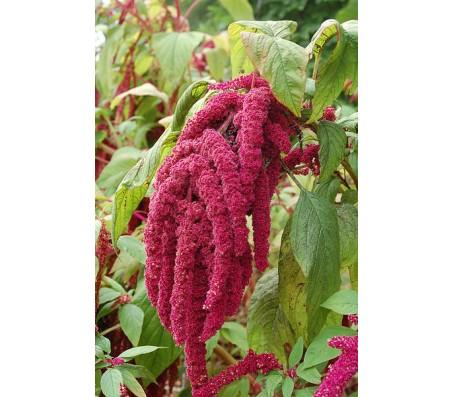 Amaranthus (Love lies bleeding) - 1g seeds