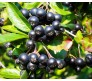 Aronia Melanocarpa 30 Seeds