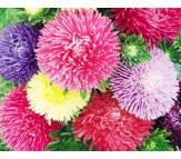 Aster (Callistephus chinensis) Giant Size Mix Color Seeds 1gr.