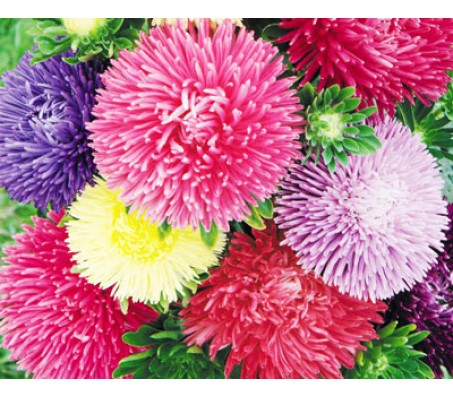 Aster (Callistephus chinensis) Giant Size Mix Color Seeds