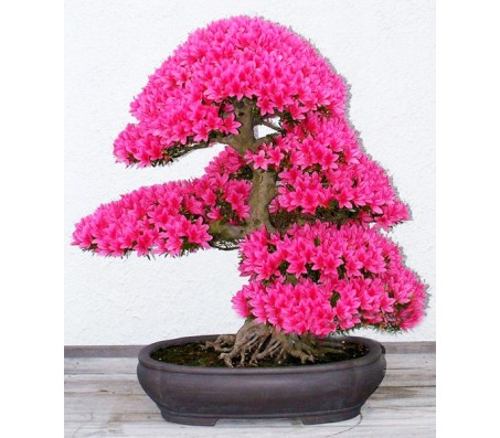 Royal Azalea 20 Seeds Bonsai