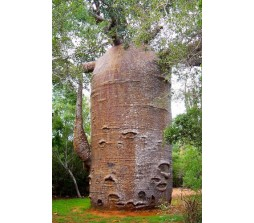 Baobab Tree Seeds (adansonia digitata) 7 Seeds
