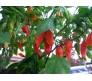 Bhut Jolokia 5 seeds