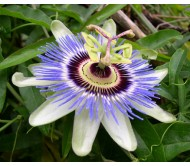 Blue Pasion Flower Seeds 0,4gr.