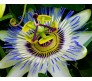 Blue Pasion Flower Seed pack