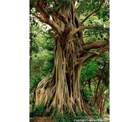 Bodhi Tree, Ficus religiosa 25 seeds