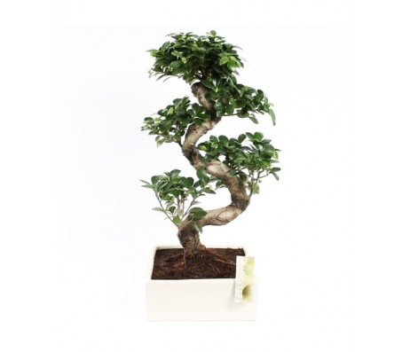 Ficus Ginseng Bonsai Tree