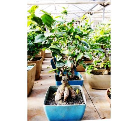 Ficus Ginseng Bonsai Tree