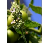 Catnip 30 seeds (Nepeta Cataria)