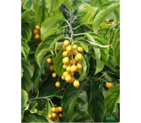 Celastrus paniculatus 30+ Seeds