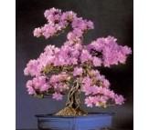 Cercis siliquastrum, Judas Tree 10 seeds