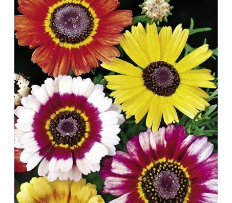 Chrysanthemum Mixed Color Seeds 0,4g