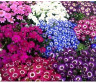 Dusty Miller/Cineraria seeds packet 0,05 gram.
