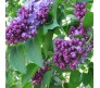 Common Lilac (Syringa Vulgaris) Bonsai 10 Seeds