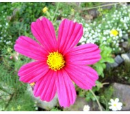 Cosmos Mixed Color Seeds 0,1 gr.