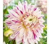 Dahlia Avignon giant flower! 1 Bulb