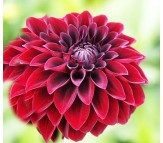Dahlia Arabian Night 1 Bulb