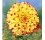 Giant Dahlia Lady Darlene 1 bulb
