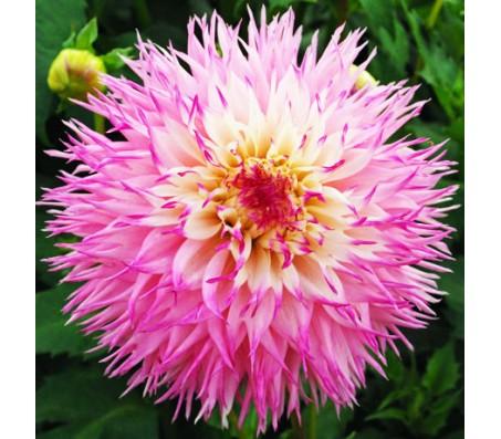 Dahlia Pineland Princess Giant Flower - 1 Bulb