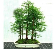 Dawn-Redwood Metasequoia glyptostroboides 10 Bonsai Seeds