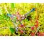 Sundew - Drosera Capensis - 25 Seeds