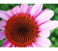 Echinacea (Echinacea purpurea) 40 seeds