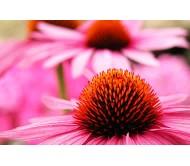 Echinacea purpurea 1 Bulb
