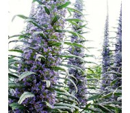 Echium Pininana - Blue Steeple Tower of Jewels 15 Seeds