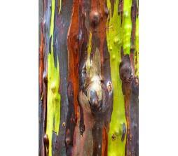 Rainbow Eucalyptus (Eucalyptus Deglupta) 20 Seeds