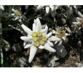 Edelweiss Seeds 0,02g