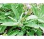 Sage (Salvia Officinalis) 0,25g seeds