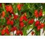Fatalii gourmet jigsaw pepper 6 Seeds