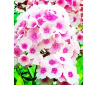 Phlox Seeds Mixed Colors 0,5g