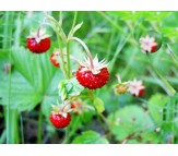 Wild Strawberry Fragaria Vesca Red wonder 40 Seeds