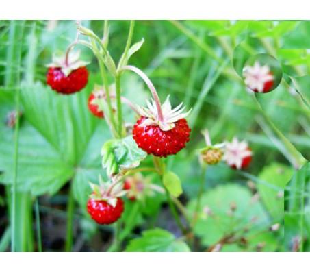 Wild Strawberry Fragaria Vesca Red wonder 40 Seeds