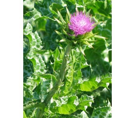 Milk Thistle herb 1g Seeds