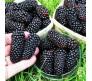 Giant Blackberry 15 Seeds