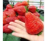 Giant Strawberry 40 Seeds