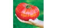 Giant Tomato Gigantomo F1 worlds largest Beefsteak - 10  Seeds