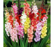 Gladiolus Large Flower Mixed 10 Bulbs