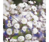 Gypsophila White Seeds 1,2g