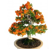 Sea Buckthorn (hippophae rhamnoides) Bonsai 20 seeds