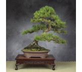 Black Cypress Pine  - 10 seeds