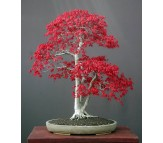 Acer Palmatum Red - 10 Seeds