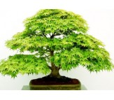 Acer Palmatum Green  - 10 Seeds