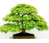 Acer Palmatum Green  - 10 Seeds